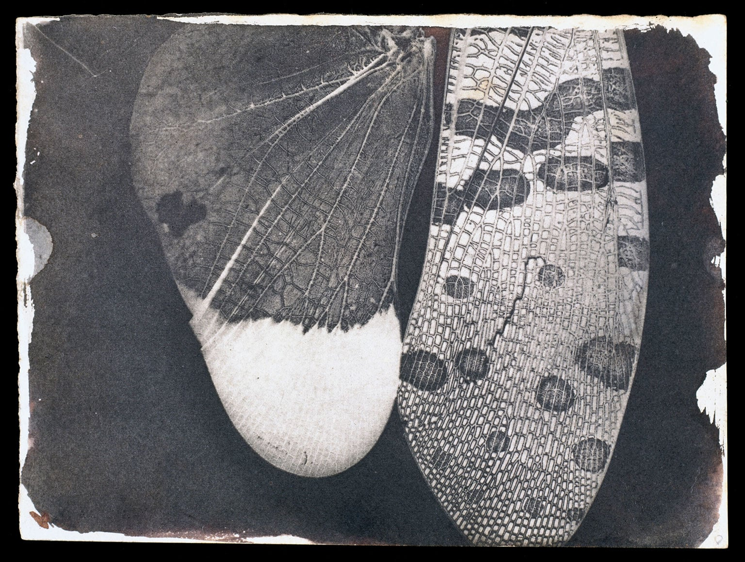 William Henry Fox Talbot, Insect wings, c.1840