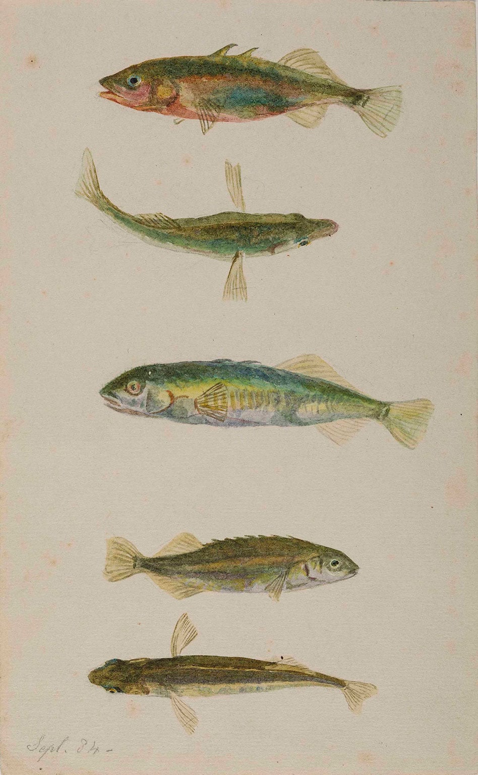 Beatrix Potter, Three spined and ten spined sticklebacks