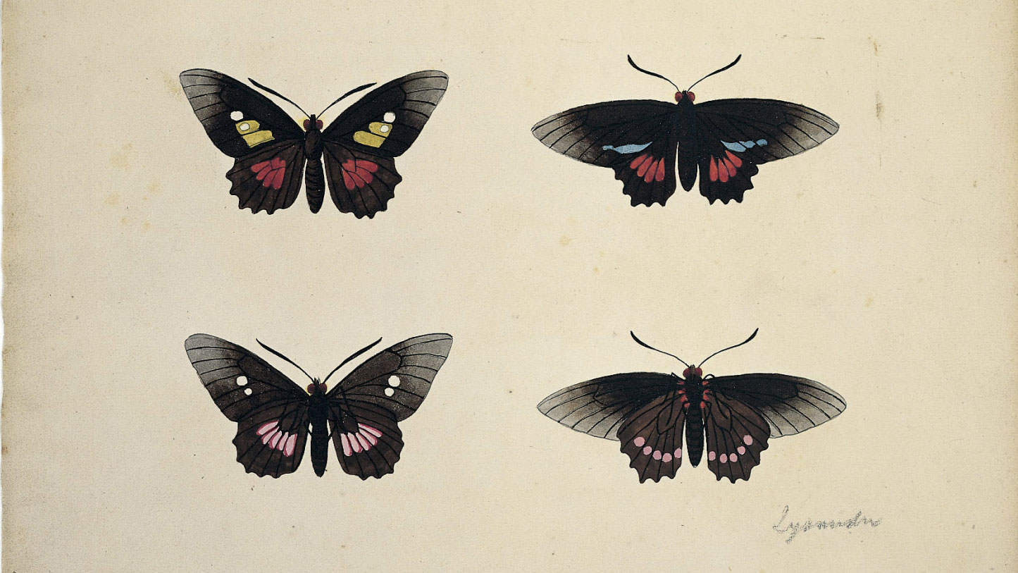 Two volumes of original entomological watercolours by Eleazar Albin, 1720?1777, Art Funded 2000