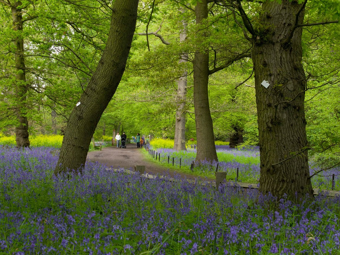 Bluebells At Kew Gardens