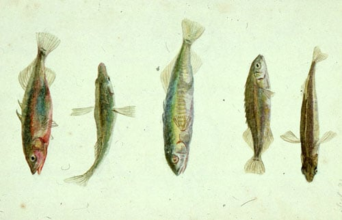 Pair of studies of newts, fish and stickleback