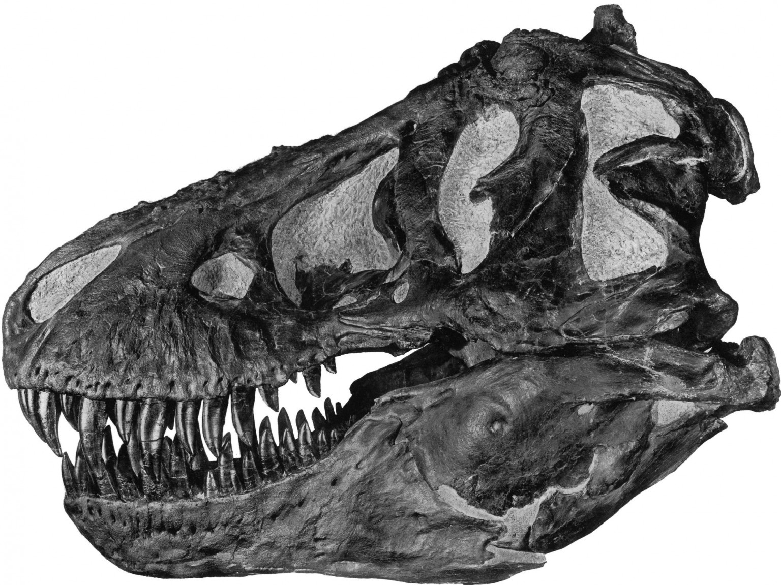 A Tyrannosaurus rex skull, similar to the one excavated by David in 2003